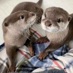 Adorable Male Otters For Sale Online