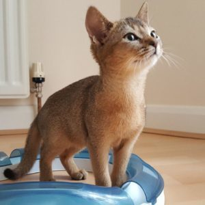 Abyssinian Kitten For Free