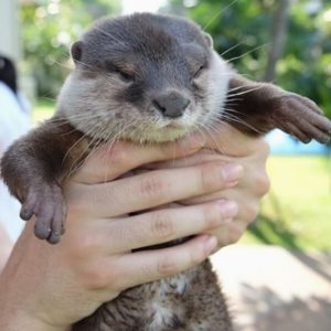 Adopt Asian Small Clawed Otters