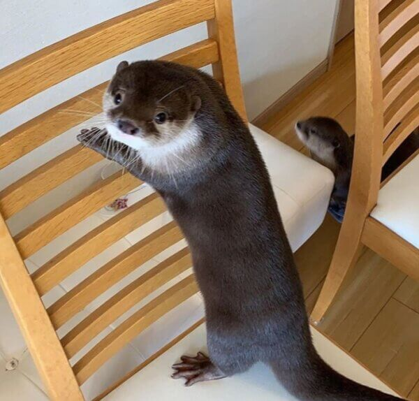 Adorable Asian Small Clawed Otters