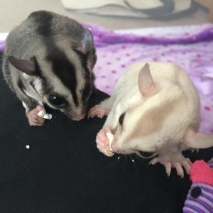 Adorable Cremeino & Classic Sugar Gliders