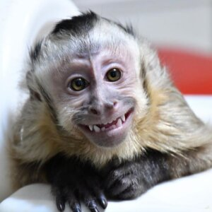Male Capuchin Monkey For Sale Online
