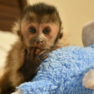 Buy Capuchin Monkeys California