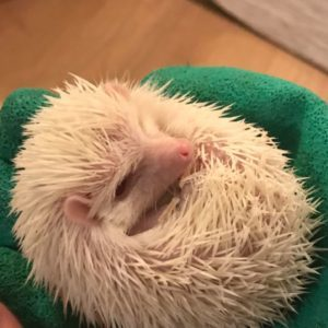 Buy  Albino Pygmy Hedgehog