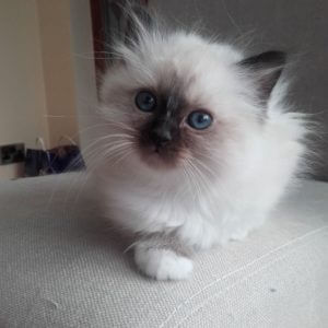 Buy Female Birman Kittens