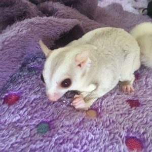 Buy cremino sugar gliders