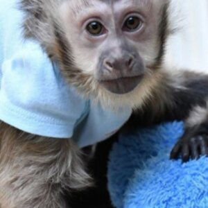 Female Capuchin Monkey For Sale