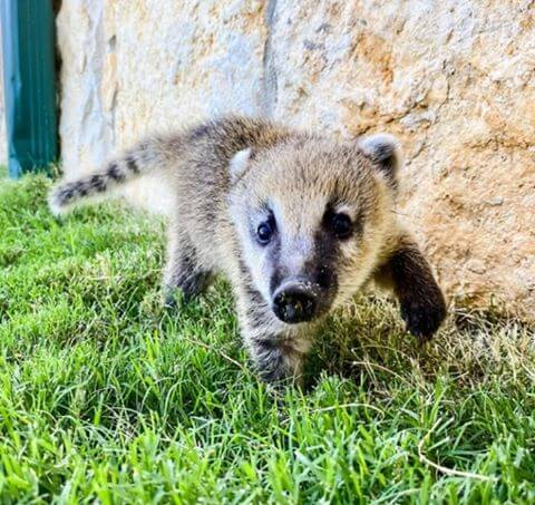 Male Coatimundi For Sale Online