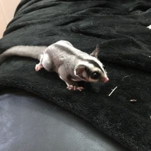 Male-White-Sugar-Gliders