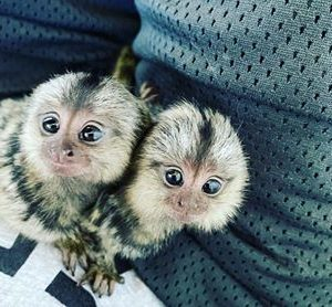 Marmoset Monkey For Sale