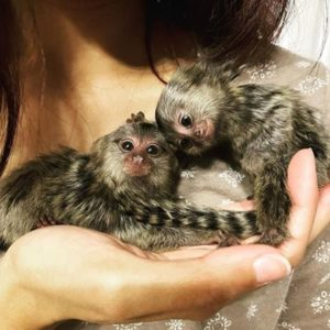 Marmoset Monkey Free Adoption
