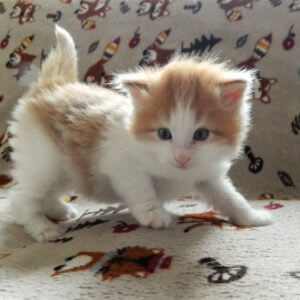 adorable norwegian forest kittens for sale