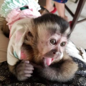 baby capuchin monkey for sale