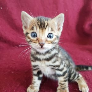 bengal kitten for sale usa