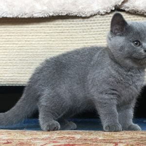 british blue kittens for sale