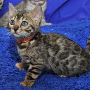 brown rosetted kitten for sale