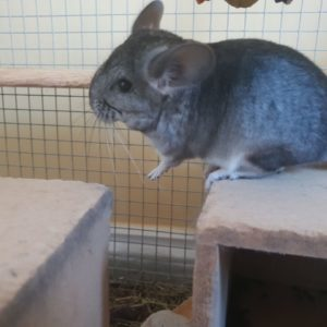 buy grey female chinchilla