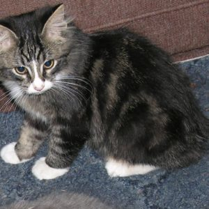 buy male manx kitten