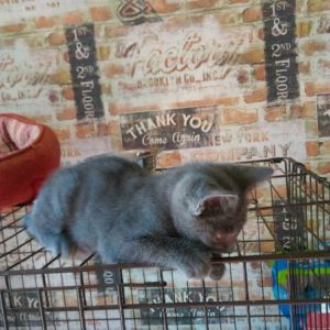 buy russian blue kitten