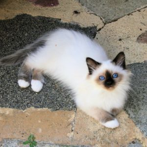cute birman kitten for sale