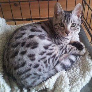 egyptian mau kitten price