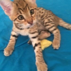 f1 savanna kitten for sale