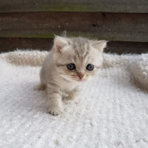 female scottish fold cat