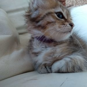 female siberian kitten usa