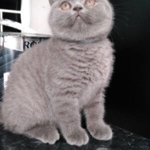 free british shorthair kitten