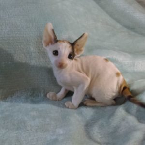 free-cornish-rex-female