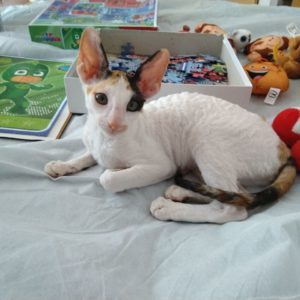 free cornish rex kitten.