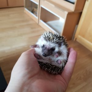 lovely African Pygmy Hedgehog