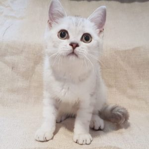 scottish fold Kitten for sale