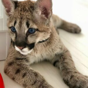 Cougar Cubs For Sale