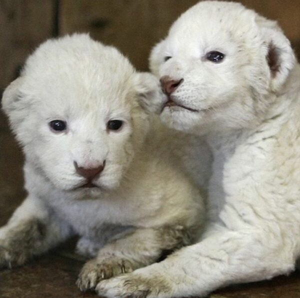 White Tiger Cubs For Sale